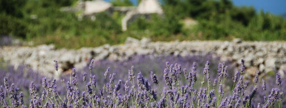 Lavender Festival Long Island