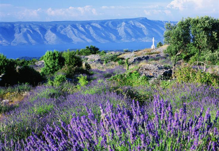 Lavender fields Hvar