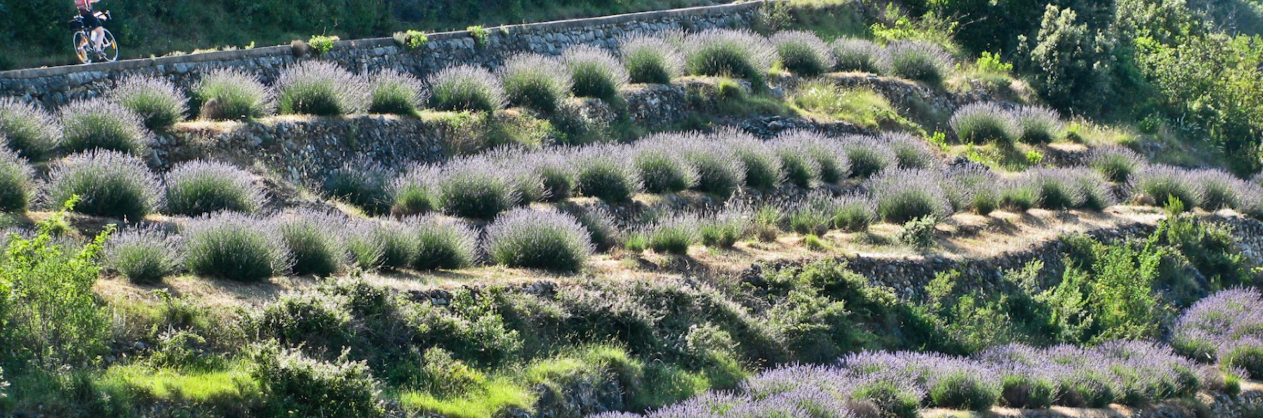HEALTH & SCENT - Bicycling immersed in Lavander