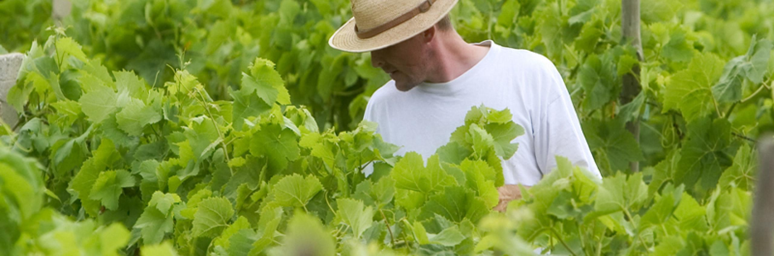 Organic gardening and wine cultivation is part of everyday life in Croatia.