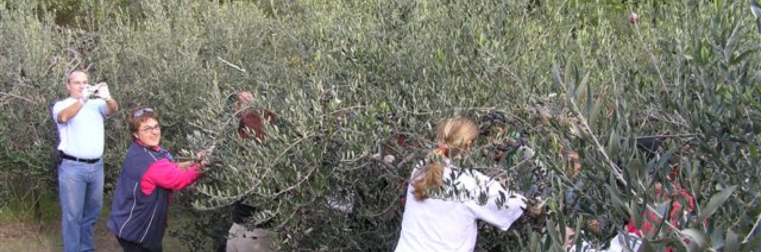 This is how organic olive oil production begins